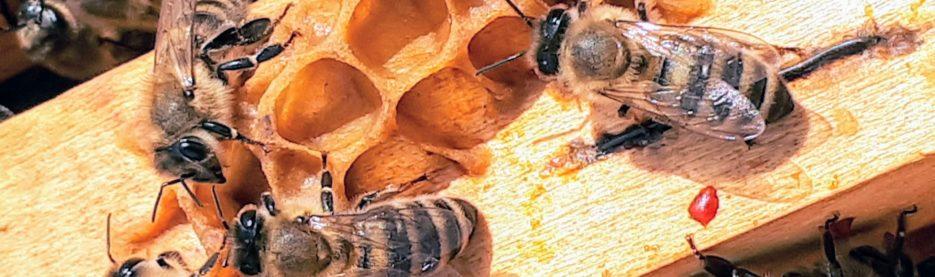 Essaims d'abeilles, que faire ?